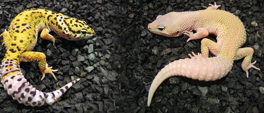 Gekon lamparci – podłoże